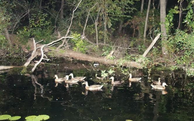 brown ducks on toronto islands at night SUP while toronto paddling